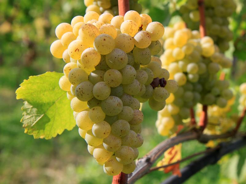 Variedade Sauvignon Blanc