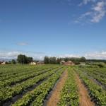 Crescimento em campo, formação de sistema radicular e lignificação do enxerto